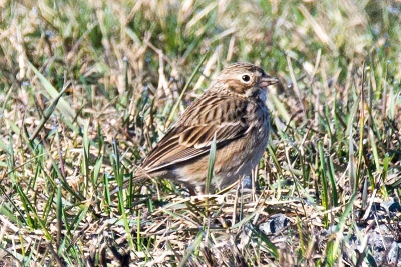 _DSC6915 Versper Sparrow