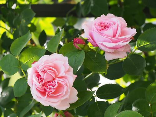 Rose, St. Swithun, バラ, セント スウィザン,