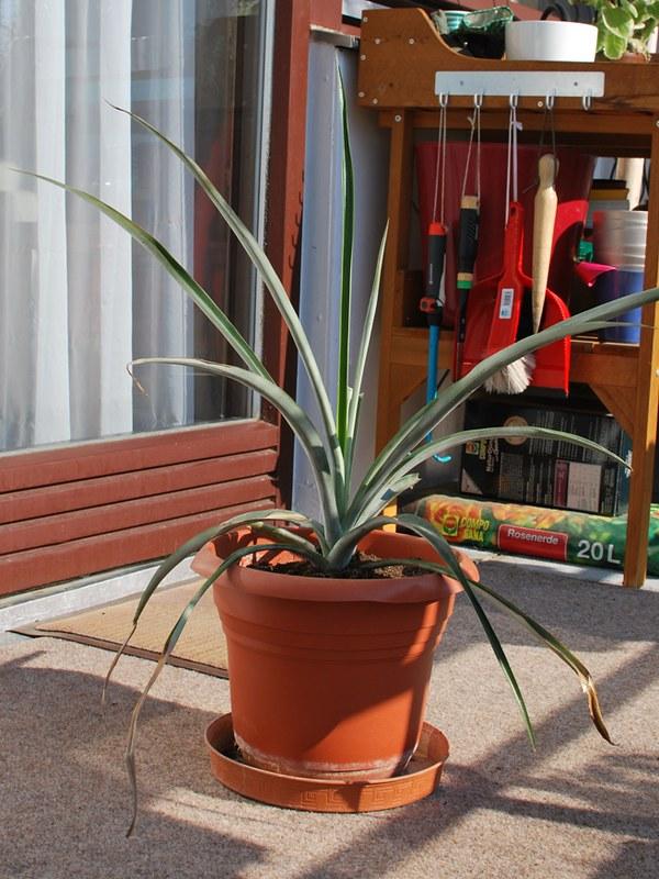 Ananaspflanze 2014