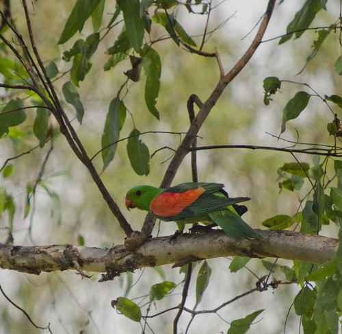 Red Winged Parrott