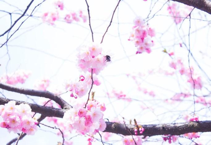 körsbärsblomma8