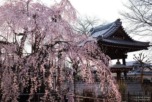 地蔵院枝垂れ桜 20170327-DSCF4011-1
