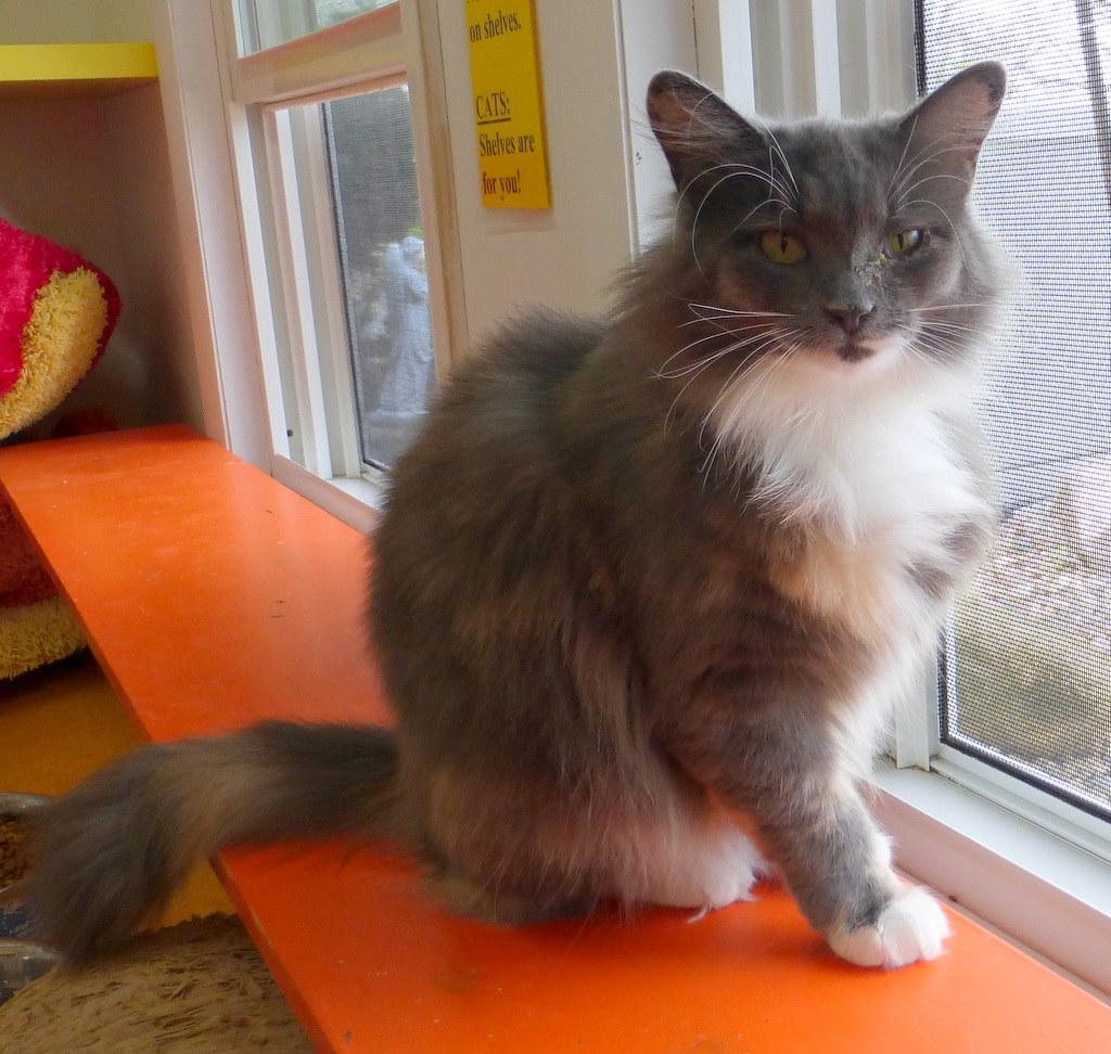 ch Cerebellar Hypoplasia Friends of Felines Rescue Center