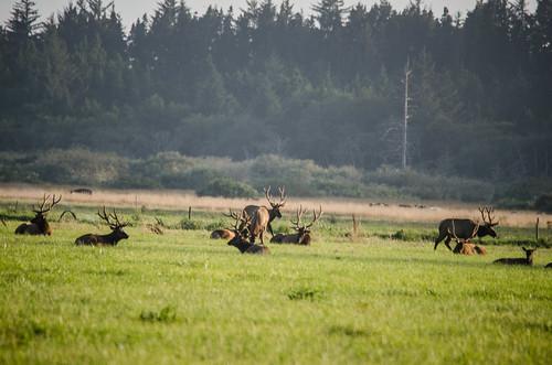 Elk at Lake Earl
