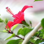 Hibiscus - Bright days. ◔‿◔ ♡