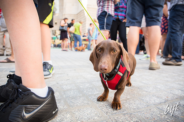 Doggy portraits of miniature Dachsunds at the Dachsund 500 in Washington, D.C. on Saturday, September 20, 2014.
