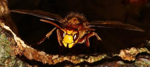 Hornet - Vespa crabro (18)