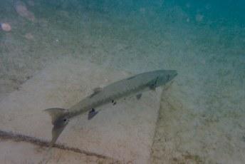 Barracuda in Turtle Bay