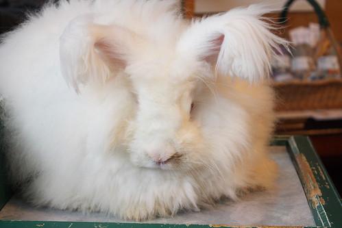 German Angora Rabbit