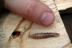 Larvae of some wood-boring beetle in my Firewood