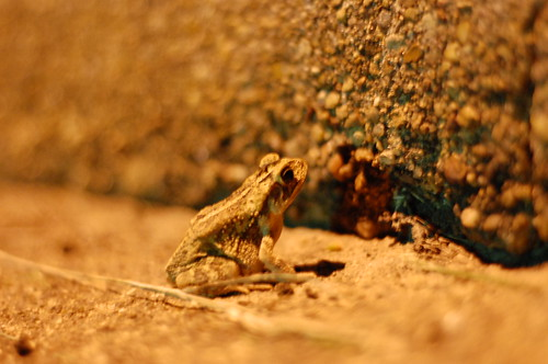 Small frog blends in great with night time suburban terrain.