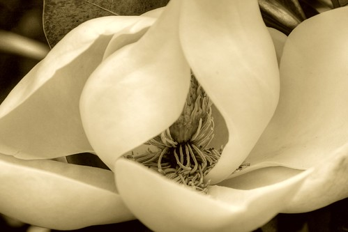 Magnolia Blossom in Sepia