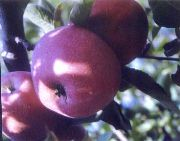 Terhune Apples