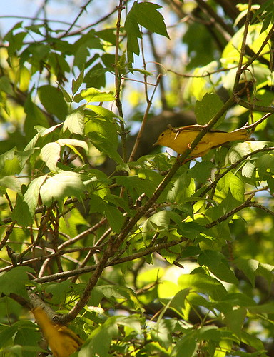 Yellow Warblers