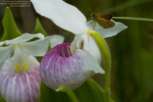 Lady Slipper and Moth I