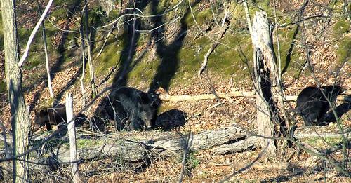 Black bears below the guest house, 4/18/08