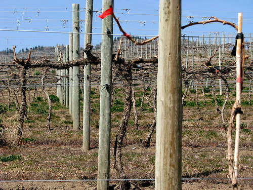 Vines getting ready to grow