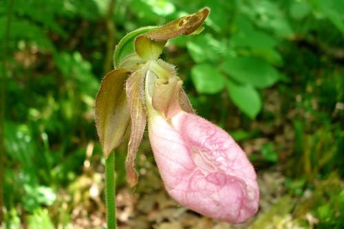 Pink Lady Slipper