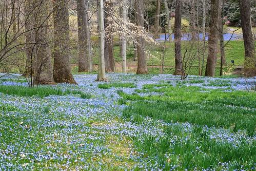 Carpet of blue at Winterhur