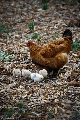 "Gallinas y Pollitos • <a style=""font-size:0.8em;"" href=""http://www.flickr.com/photos/20681585@N05/3028925490/"" target=""_blank"">View on Flickr</a>"