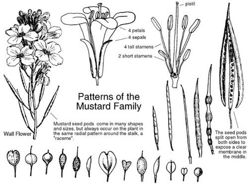 Brassicaceae Diagram