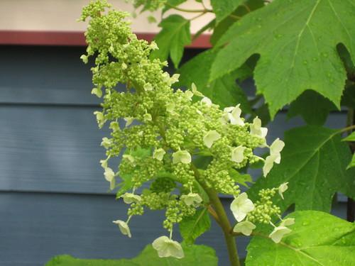 Oakleaf hydrangea beginning to blossom