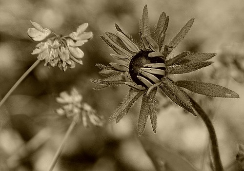 Black-eyed Susan—in sepia