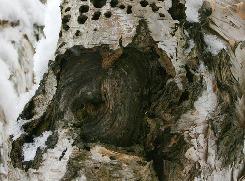 Birch tree wound