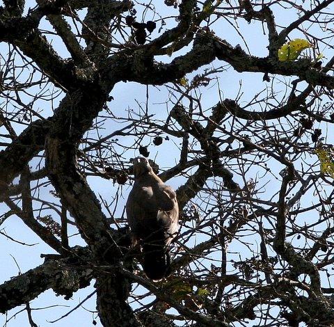 oriental honey buzzard k gudi 170308