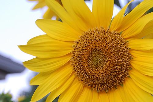 Sun, Flower