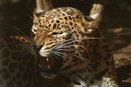 Ceylon-Leopard im Zoo von Doué-la-Fontaine