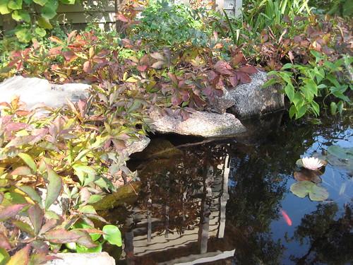 Fall woodbine around the pond