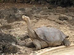 Lonesome George, Galapagos Islands-Ecuador
