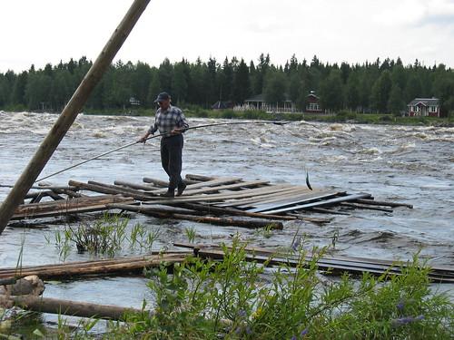 Siikavisser bij de Kukkola stroomversnelling ten noorden van Tornio
