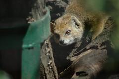 Fuchsmanguste im Zoo Gdansk