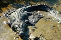 Saltwater Croc, Kakadu, NT