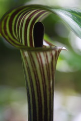 Jack-in-the-Pulpit photographed using my elbow tripod while lying on my belly.