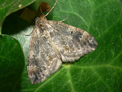 Common Marbled Carpet moth (chloroclysta truncata)