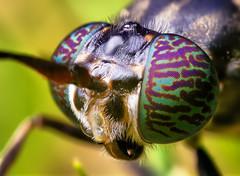 Black Soldier Fly Head - (Hermetia illucens)