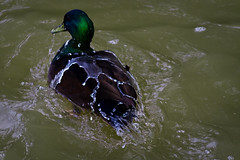 Water off a Duck´s Back