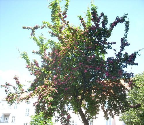 Blühender Rotdorn 1