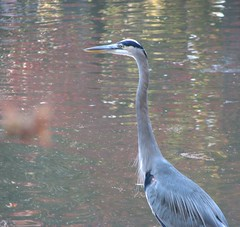 We saw a great blue heron in the pond