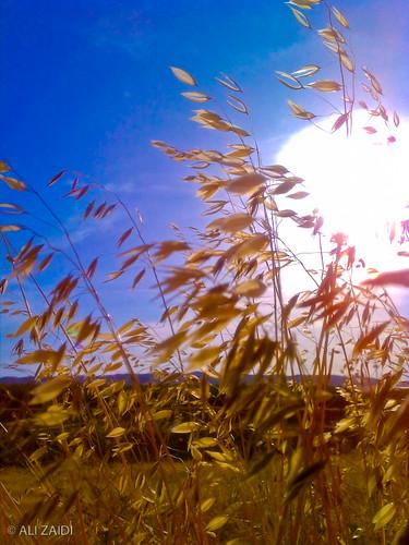 Blonde Grass by greenvelvet