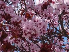 ArbolRosa_flores