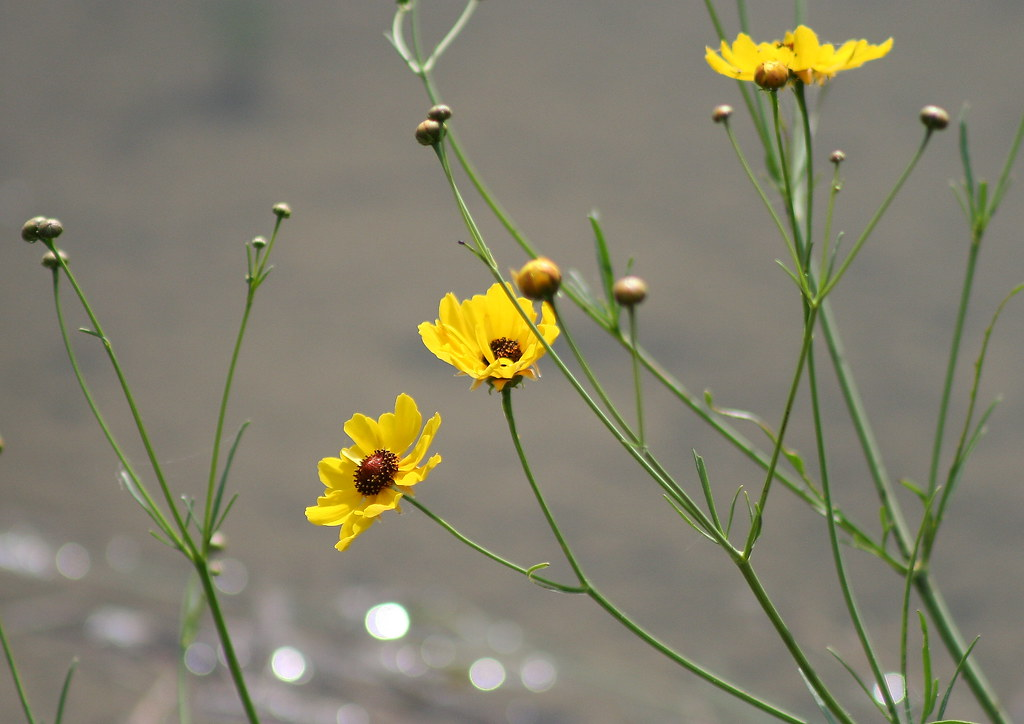 //ghs.gresham.k12.or.us/science/ps/nature/gorge/sun/daisy/coreopsis/coreopsis.htm