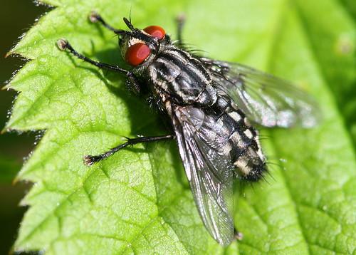 Flesh Fly, Sarcophaga sp.