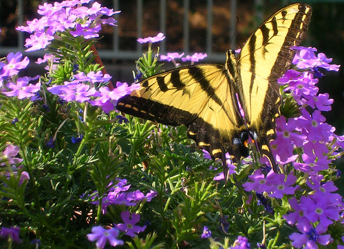Western-Tiger-Swallowtail