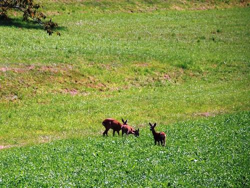 03.09.2008 - Jagdsaison in der Schweiz eröffnet - Drei Bambis erlegt