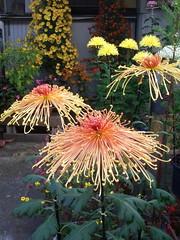 ufo chrysanthemums