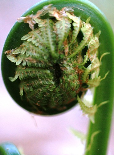 Upclose of fiddlehead